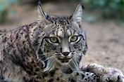 Iberian Lynx ~ Animals World