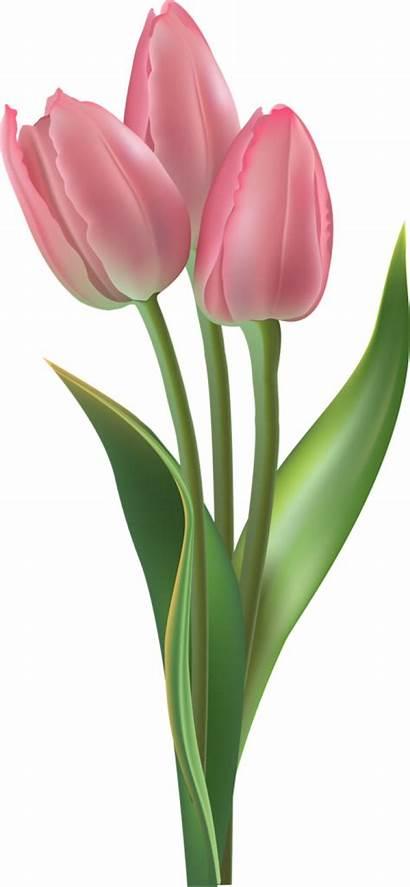 Tulip Clipart Vase Transparent Tulips Clip Border