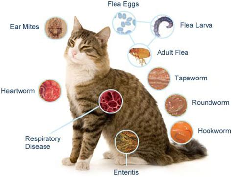 can humans get worms from cats worming for cats will protect your kitten from hookworm