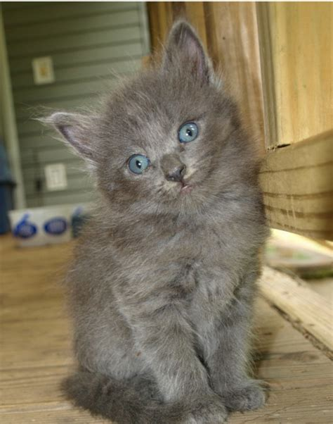 Russian Blue Cat Kittens
