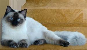 Seal Point Pointed Colourpoint Ragdoll Cat | Gatos ...