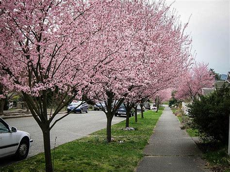 purple leaf plum tree for sale newport plum tree newport flowering plum for sale online the tree center gardening guide