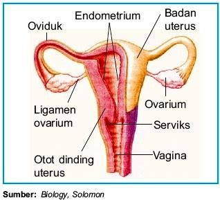 organ alat reproduksi pada wanita struktur dan fungsi