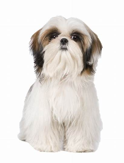 Shih Tzu Puppy Cut Haircuts Groom Dog