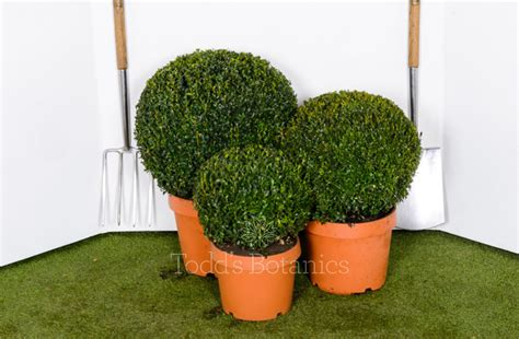 30cm Topiary Box Ball For Sale