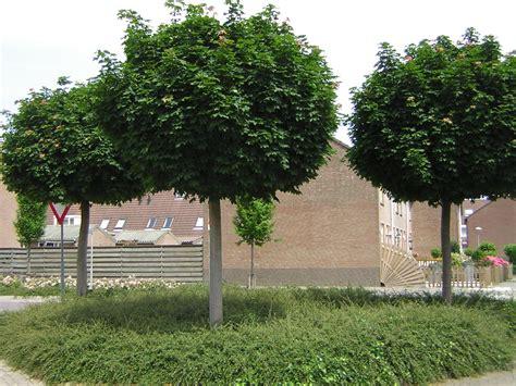acer platanoides globosum udenhout trees acer platanoides globosum