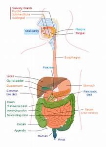 Digestion - Wikipedia