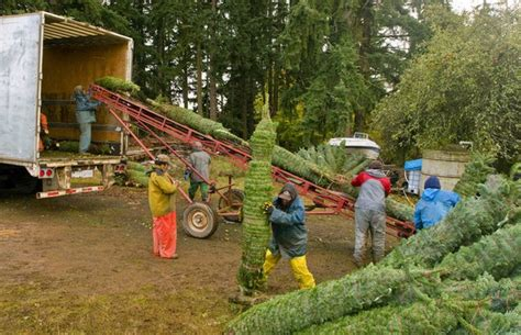 how much does a live christmas tree cost how much does an oregon tree cost around the world oregonlive