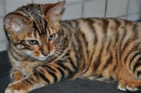 Anorak  Toygers A Tiger Crossed With A Pet Cat (photos