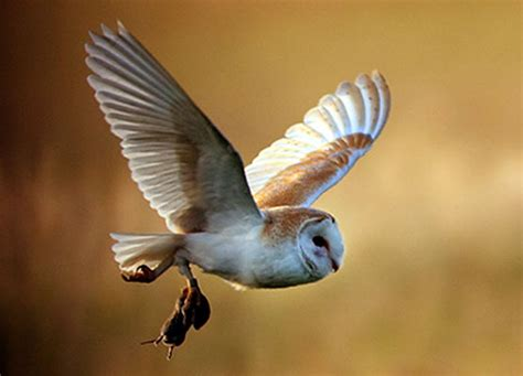 What Do Barn Owls Eat by Barn Owl