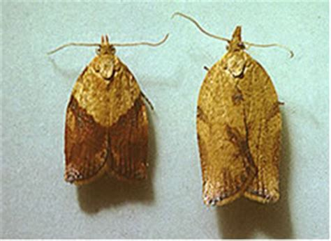 light brown apple moth pest exclusion agriculture