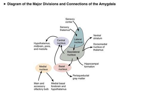 h m si鑒e social questione della decisione novità dalla ricerca neuroscientifica scuola e amigdala