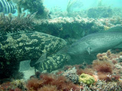 grouper goliath gag gulf reefs mexico artificial reef collier county finds study updates widespread boon economic enjoy support fishery council