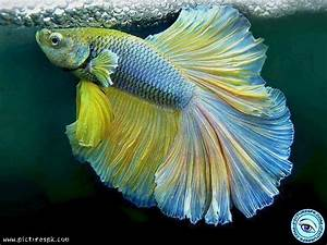 10 best Colorful Fish images on Pinterest | Water animals ...