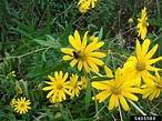 woodland sunflower, Helianthus divaricatus (Asterales ...