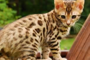 bengal cat pictures bengal cat purrfect cat breeds