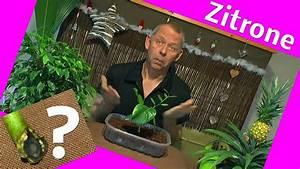 Geranien Vermehren In Wasser : zitrone vermehren steckling im wasser bewurzeln youtube ~ Watch28wear.com Haus und Dekorationen