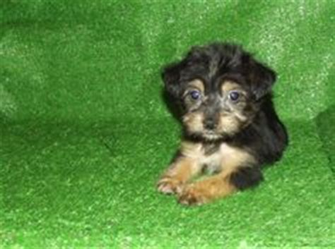 Small Non Shedding Dogs For Adoption by 1000 Images About Non Shedding Dogs On Shih