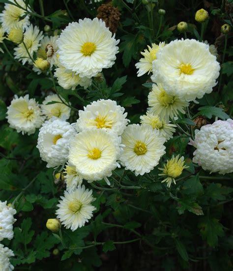 perennial chrysanthemums garden foreplay