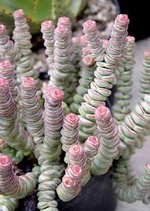les 25 meilleures idees de la categorie plantes With modeles de rocailles jardin 2 crassula planter et entretenir ooreka
