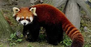 Postcard Interchange 明信片交流站: Red Panda cards from ...