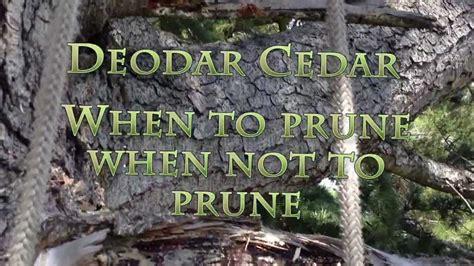 When To Prune A Deodar Cedar? Youtube