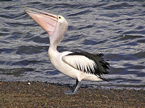 le de poche pelican passions et partage le p 233 lican