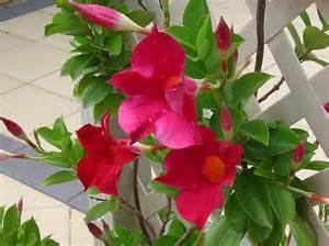 Dipladenia Mandevilla Plant