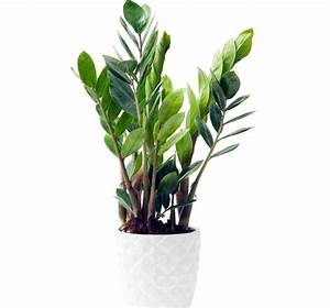 Plante Balcon Facile D Entretien : zamioculcas plante zz conseils d 39 entretien ~ Melissatoandfro.com Idées de Décoration
