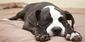 Myths, Lies and Misconceptions: The Life of a Pit Bull ...