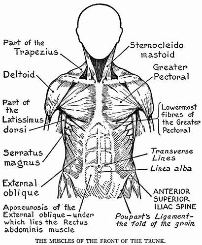 Coloring Muscular System Systems Human Pages Muscles