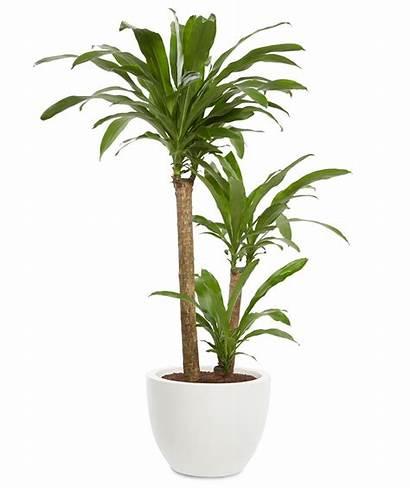 Dracaena Plants Plant Indoor Office Fragrans Tall