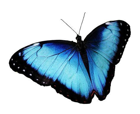 butterfly blue  photo  pixabay