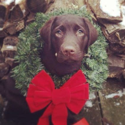 merry christmas from the sweetest chocolate lab ever dogs fur kids dog christmas pictures
