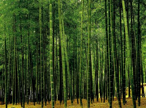 bamboo plantation pw