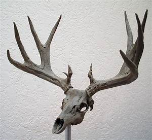 Image result for deer skull side view | Anatomy ...