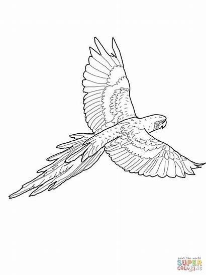 Macaw Coloring Pages Flying Hyacinth Printable Drawing