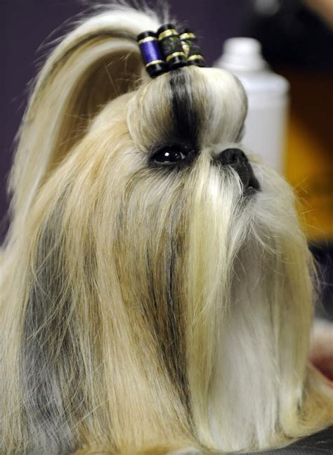 bouffant   bow pictures  dog hairstyles