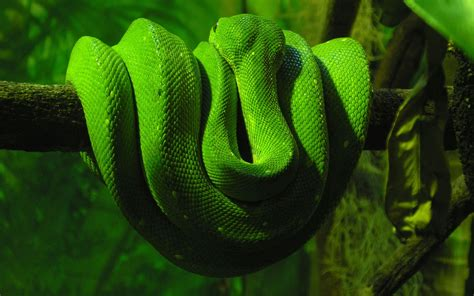 Green Animal Wallpaper - green snake wallpapers hd wallpapers id 5064