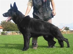 Black German Shepherd Dog Names | 1001doggy.com
