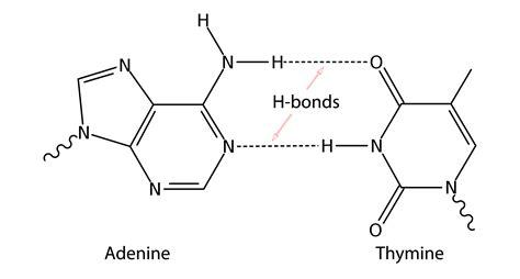Image result for DNA hydrogen bonds   Hydrogen bond, Bond, Dna