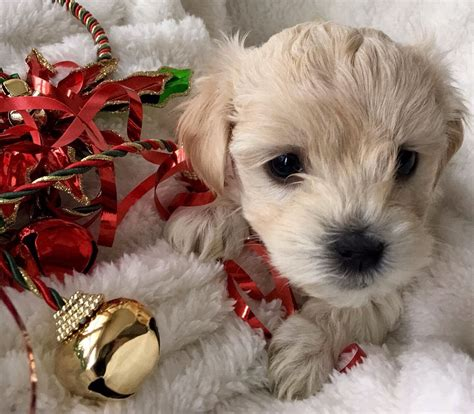 Puppy For Sale Goldendoodles For Sale Puppies Ny Adopt Rochester Canada Wine Apple