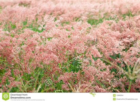 pink flowering grass field of pink flowering grass stock images image 13992054