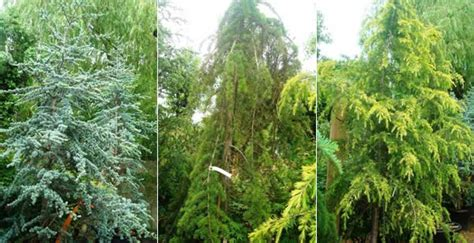 cedar trees   grow cedars uk garden centre