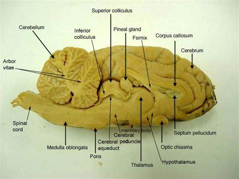 sheep brain anatomy diagram sheep brain