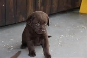 Free Labrador Chocolate Lab Puppies