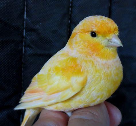 canary 112113 for sale in cranston ri