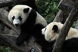 Giant pandas are no longer 'endangered,' but still ...