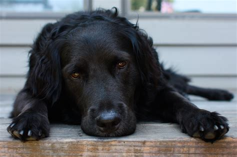 Filereclining Black  Ee  Dog Ee   Jpg Wikimedia Commons