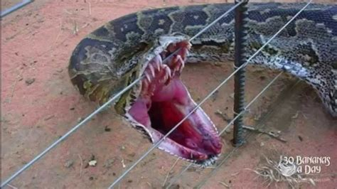 electric snake fence worlds snake found alive on electric fence 3540